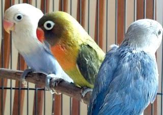 8 Cara Akurat Menurunkan Birahi Lovebird Paud/Balibu Yang Sudah Terbukti