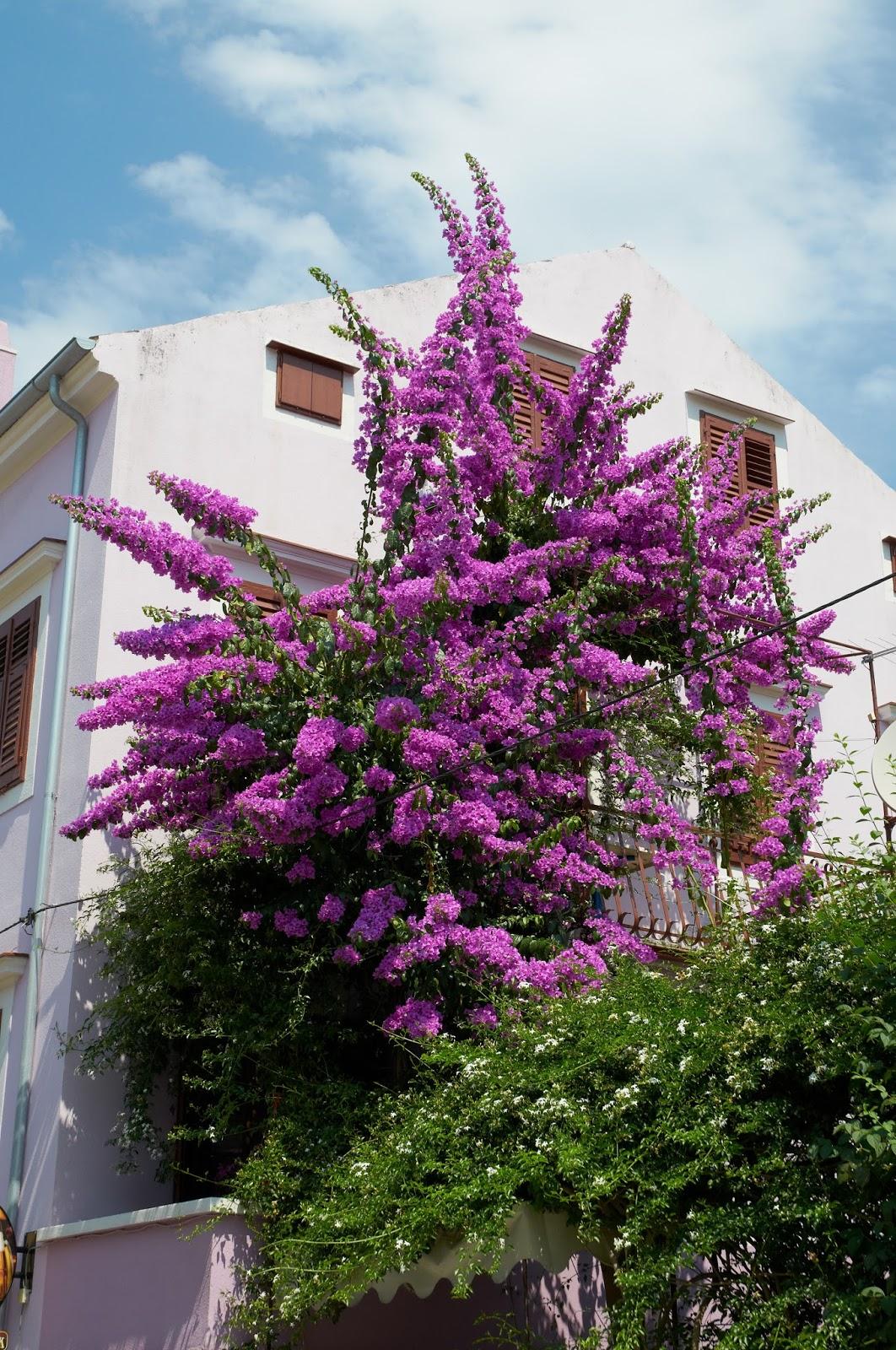 wiaty kwitnące w Chorwacji ogromne fioletowe kwiaty