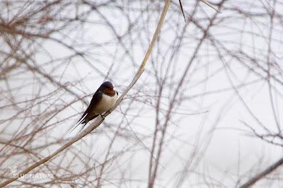 Golondrina común - Barn swallow - Hirunda rustica Posada para descansar, pero constantemente sobre vuela entre las espadañas para capturar las primeras explosiones de mosquitos y otros insectos voladores.