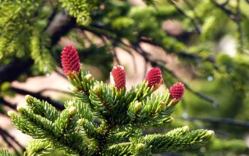 Wallpaper: Pine tree flowers