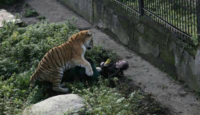 Mengerikan, Penjaga Kebun Binatang 'Dianiaya' Harimau