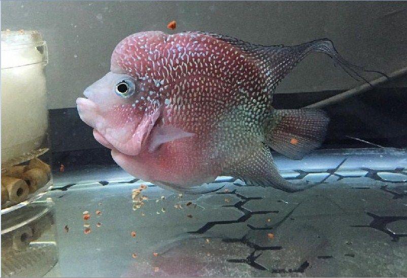 Jenis Ikan Louhan Termahal