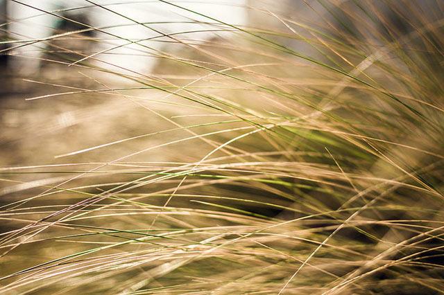 Photo de graminées prise au Nikkor 35mm f1.8 pour un joli bokeh