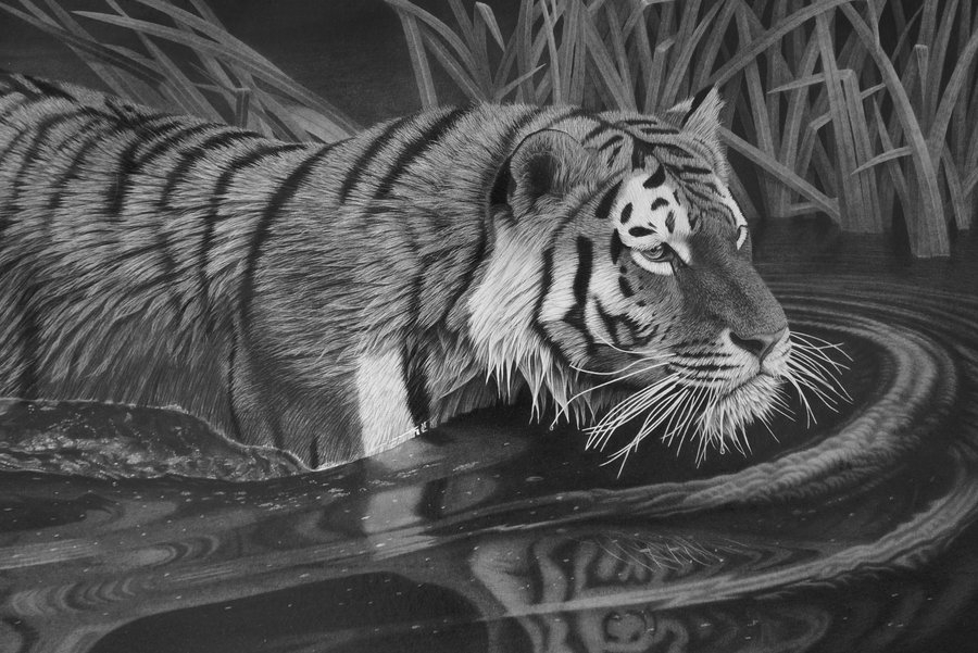 09-Tiger-Stephen-Ainsworth-Nine-Animal-Drawings-and-One-Painting-www-designstack-co
