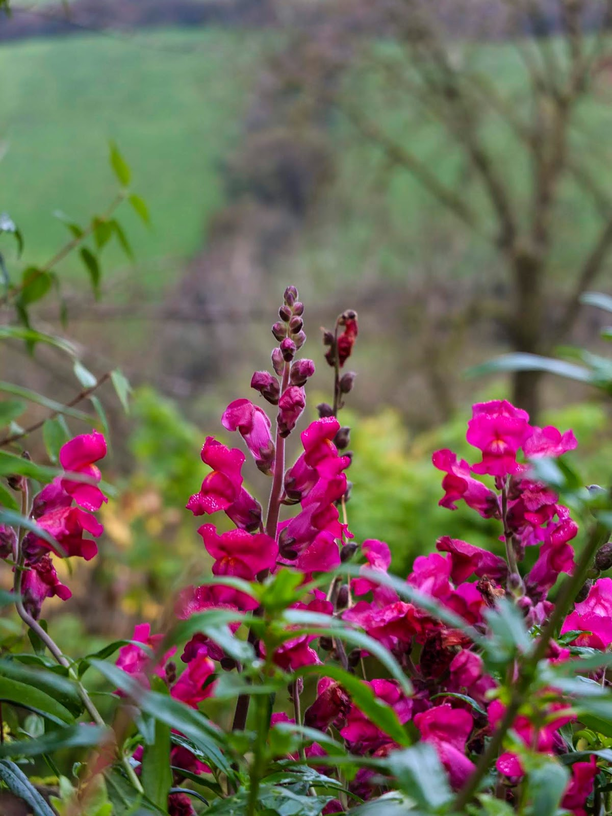 Close up of some pink Snapdragons in a valley garden.