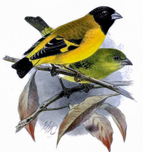 Bird World - Image of Saffron siskin - Spinus siemiradzkii