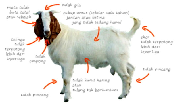 harga kambing aqiqah di jepara