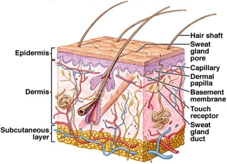 Skin glands and receptors