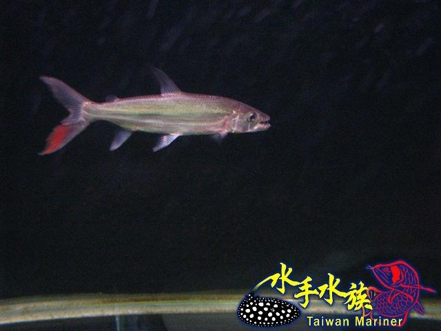 水手水族: 2011-04-08 白金猛魚20cm入庫(已售)
