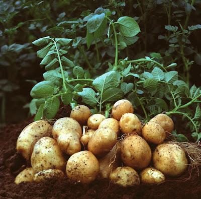 business plan based on potatoes