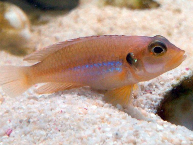 44. Jenis Ikan Hias Aquascape Frog Faced Cichlid