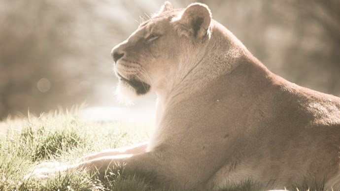 Wallpaper: Lioness at Whipsnade Zoo
