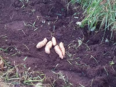 Allotment Crops - Jerusalem Artichokes