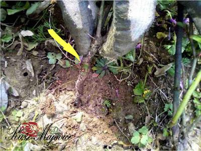 Orezivanje čajevki, floribunda i mini ruža