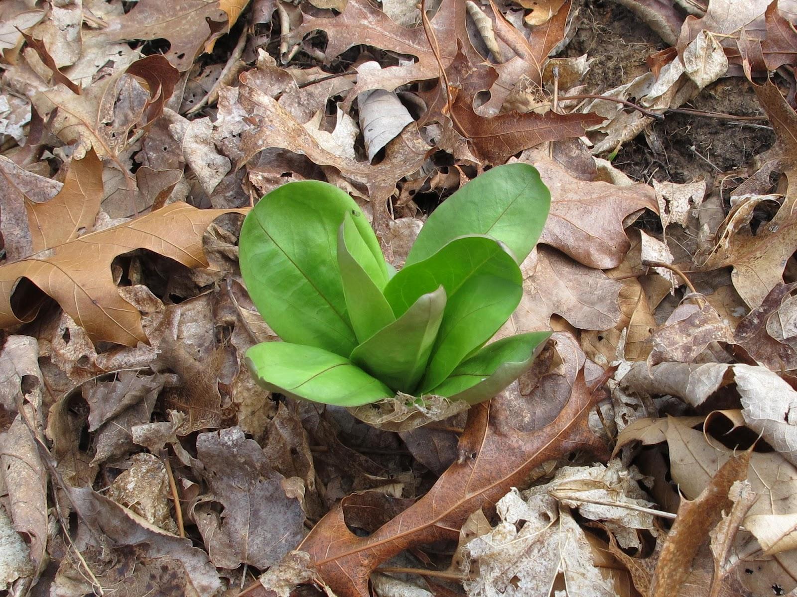 Blue Jay Barrens Spring Flowers