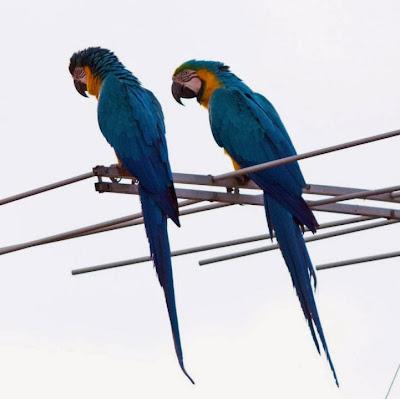 Guacamayo azul y amarillo: Ara ararauna
