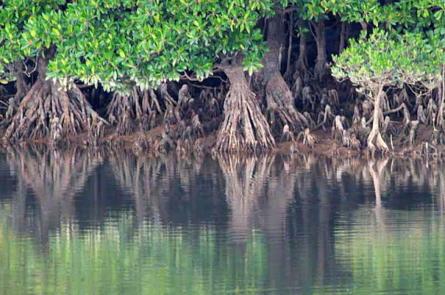 Mangrove trees and roots reflections