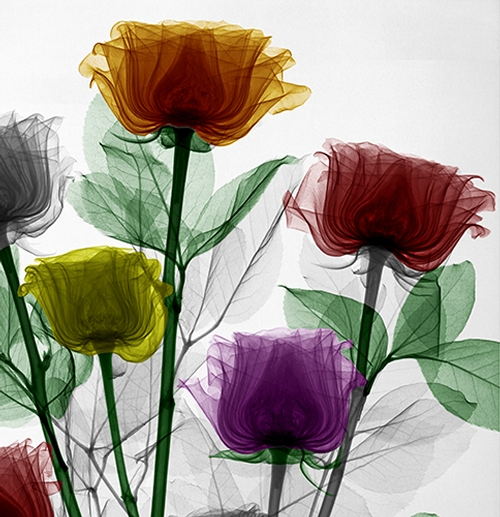 14-Roses-Arie-van-t-Riet-Colored-X-ray-Photographs-of-Nature-www-designstack-co