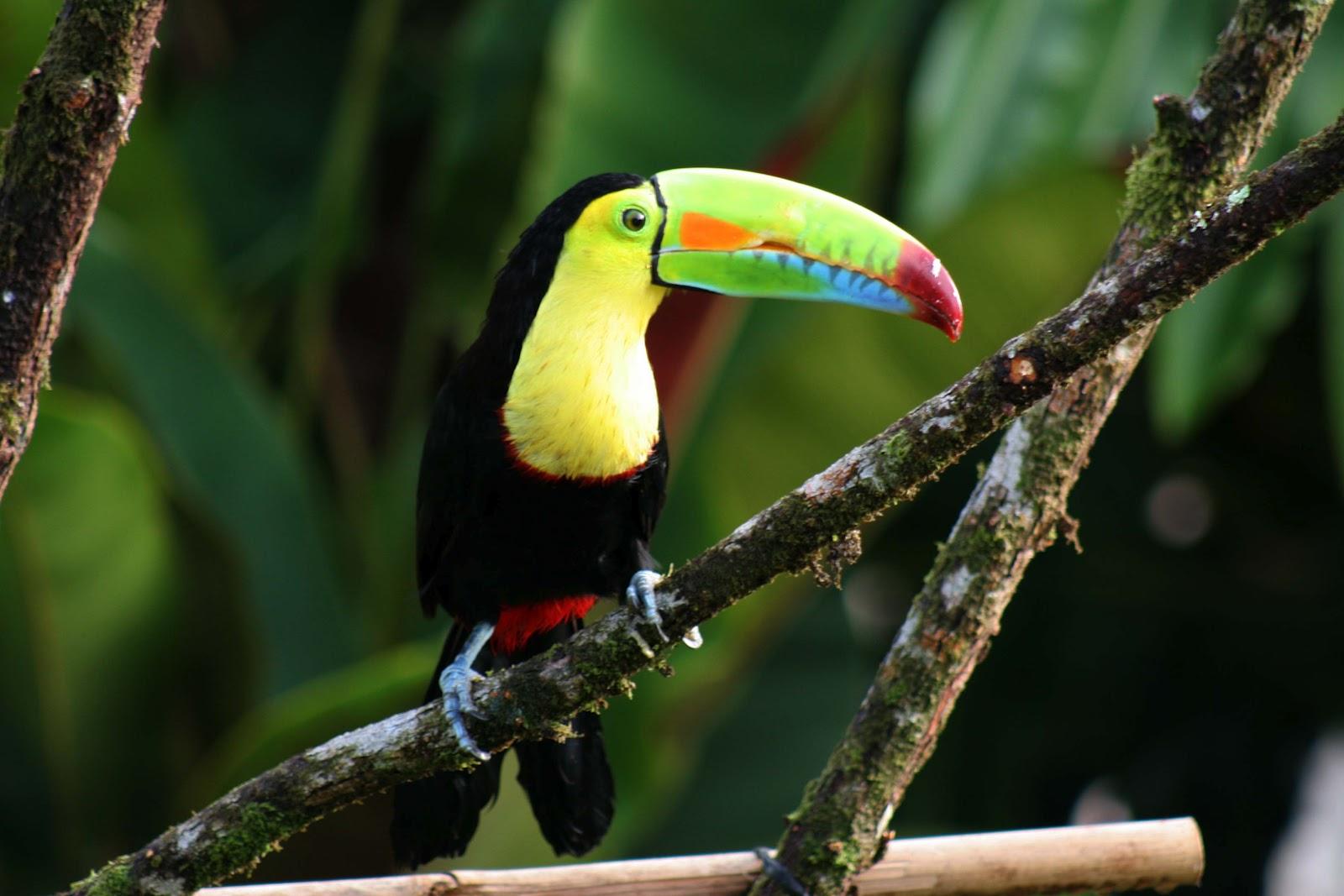 red-junglefowl Common Birds Of Bali