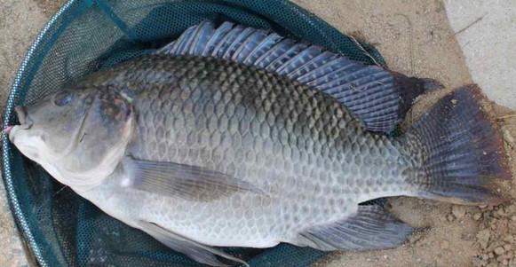 Cara Mancing Ikan Nila Babon Liar Danau Kolam Waduk Jitu Membuat Umpan Ikan