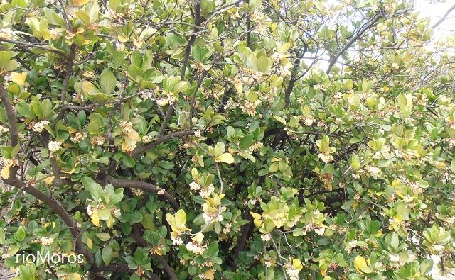 Arbusto durillo Sandankwa Viburnum suspensum