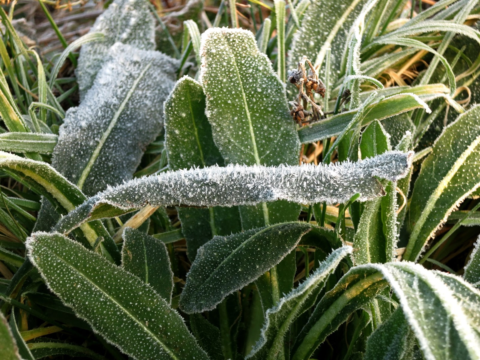 Frost bends long leaf.