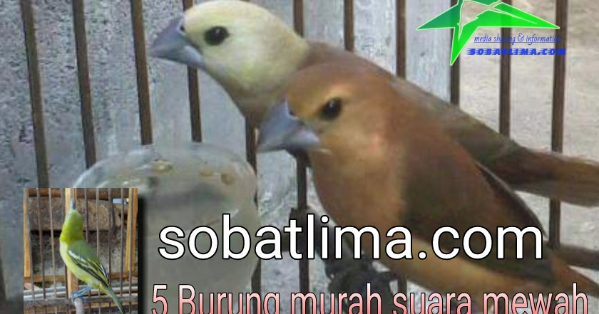 5 Burung Murah Bersuara Bagus Dan Mewah Sobat Lima