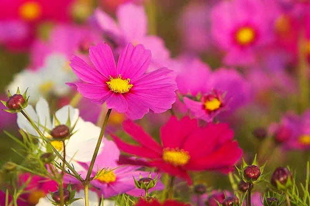 cosmos flowers in bloom
