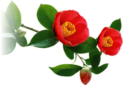 Ingredient Focus Camellia Japonica Seed Oil Nailderella