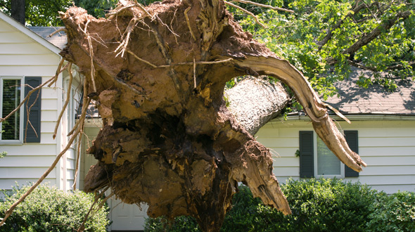 Large tree toppled onto home after root failure