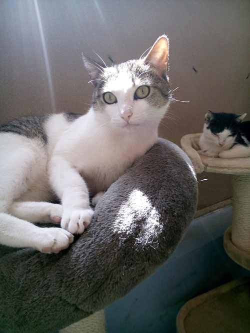 gato-raza-comun-europeo-cuidados