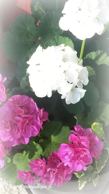valkoinen ja pinkki pelargonia