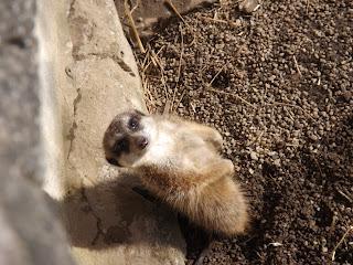 A meerkat looking at a camera