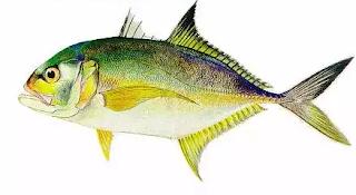 """""""ikan kuwe untuk konsumsi"""""""