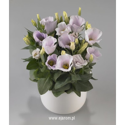 http://ejarom.pl/files/images/sys/big/eustoma_grandiflorum_carmen_f1-silver_.jpg