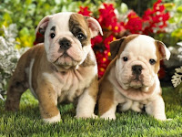 Bulldog puppies Puzzle