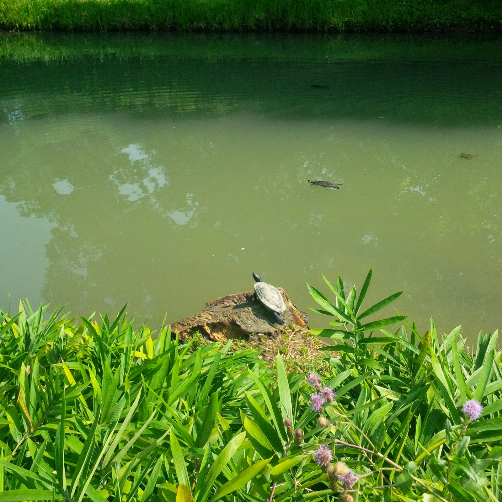 A turtle is sunning herself in Parco Querini in Vicenza