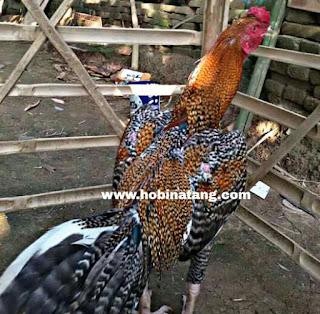 Jenis Ayam Bangkok Jali