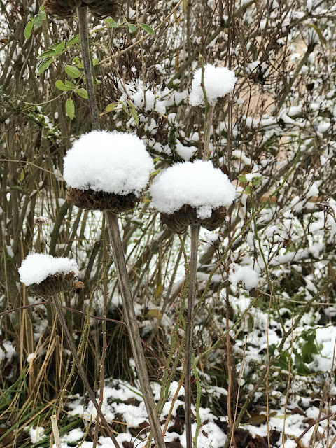 Samenstände vom Brandkraut mit Schneehaube
