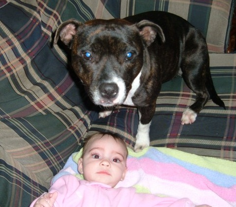 PLANET ANIMALS 2012: Pitbull Dog