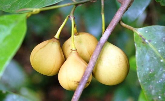 cara budidaya tanaman pala