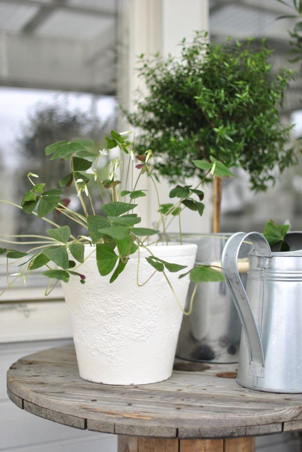 hannashantverk.blogspot.se oxalis lyckoklöver myrtenträd