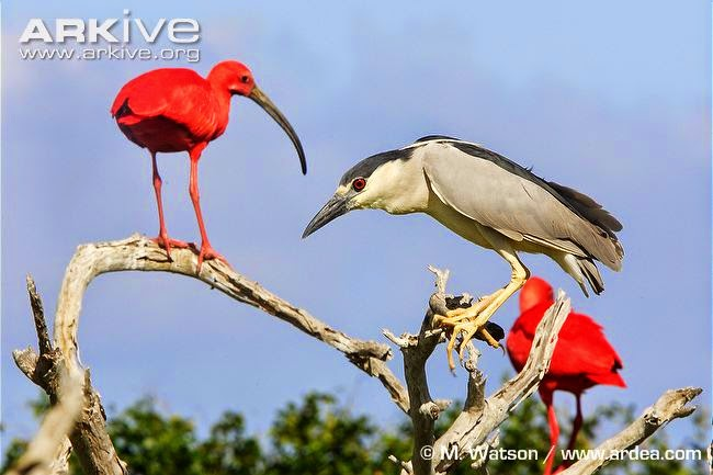 interactions between ciconiiformes scarlet ibis