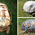 Injured Tortoise Receives World's First 3D Printed Shell