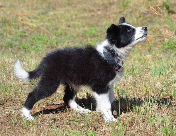 cachorros mestizos border collie 2