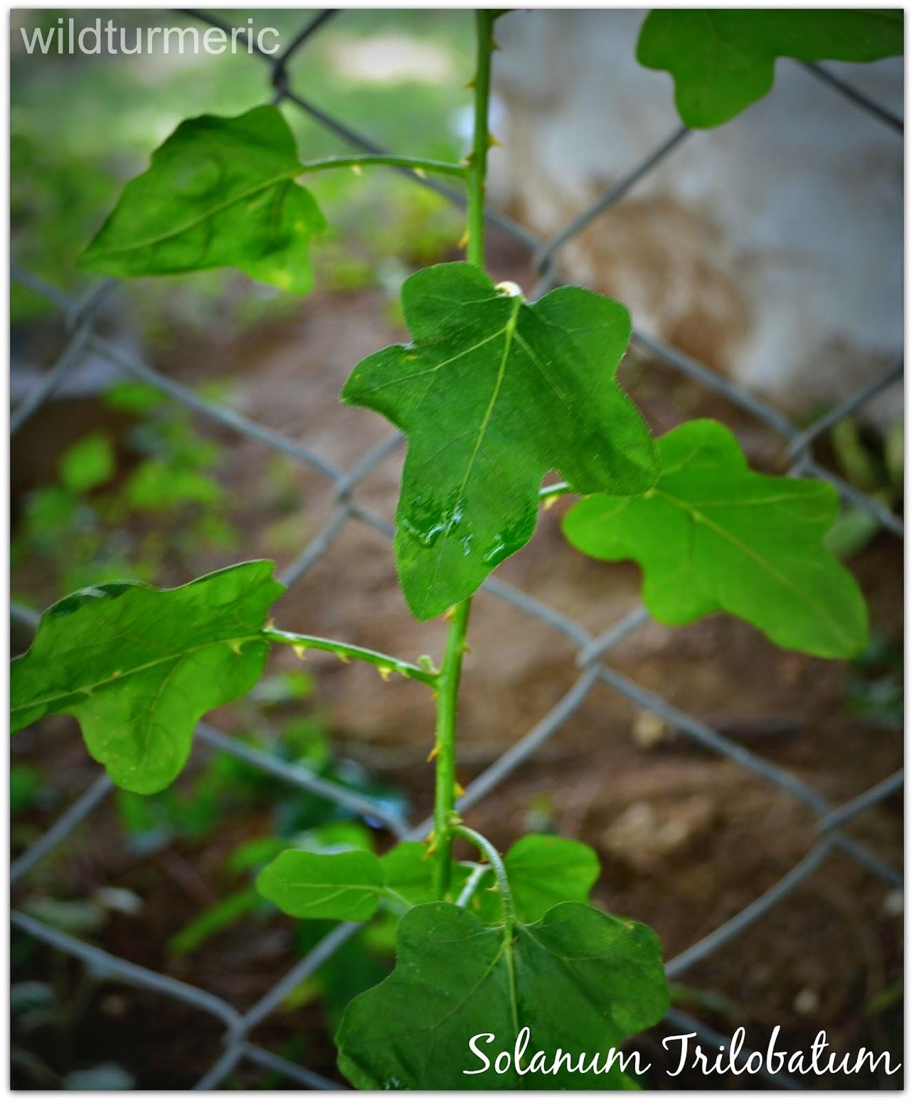 Thoothuvalai Solanum Trilobatum Medicinal Use Cure For