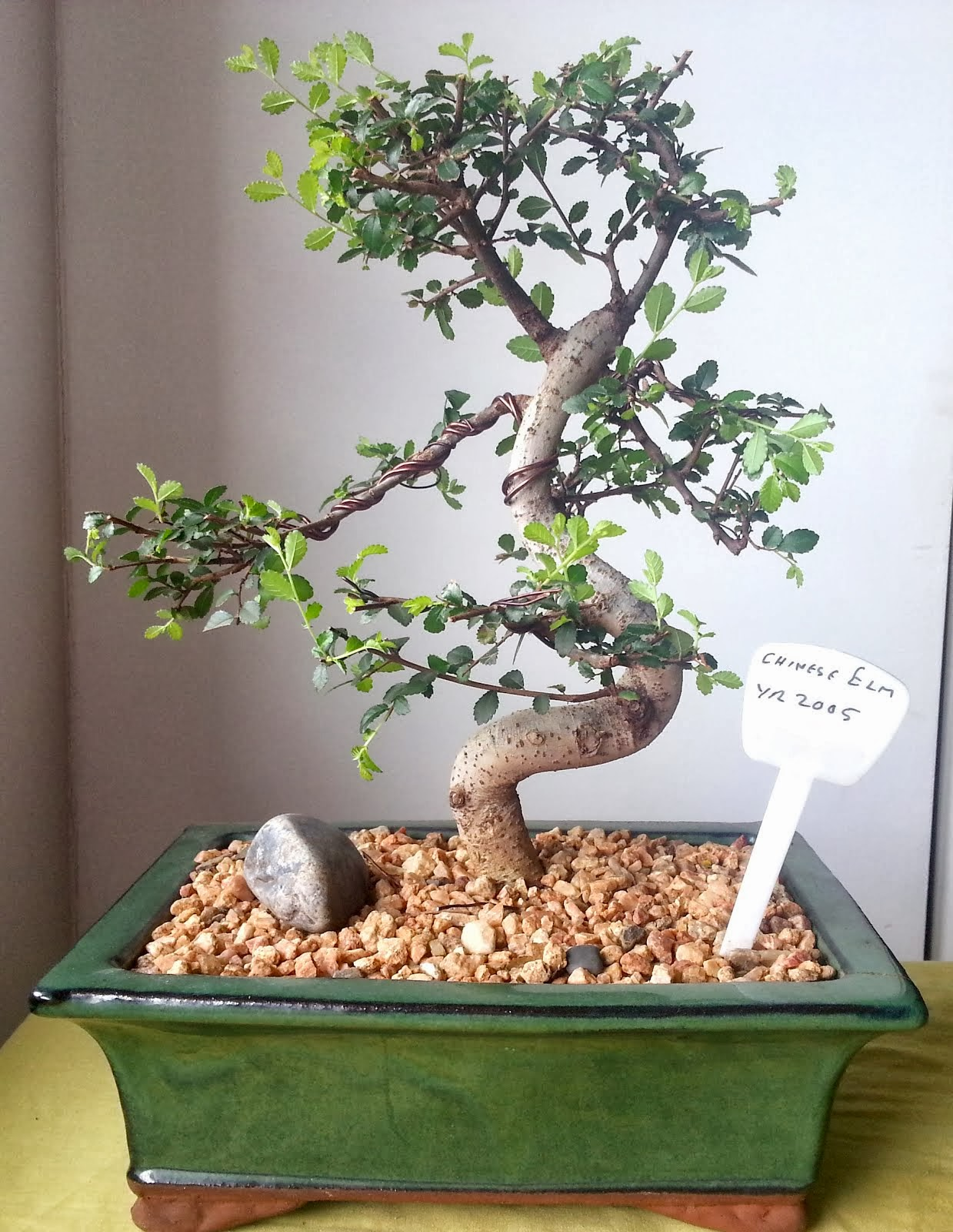 Wiring Chinese Elm Bonsai Great Engine Diagram Schematic Juniper Tree Learning The Art Of Bending Rh Bendingbonsai Blogspot Com Pruning