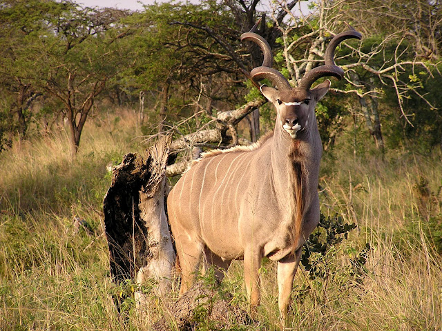 Do you know Kudu? See facts and information 5