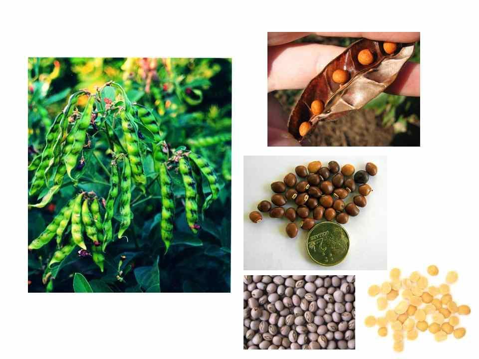 Microwave Cake Recipes In Malayalam: Cooking In Cochin: Cajanus Cajan