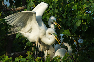 Great Egrets, Smith Oaks Rookery